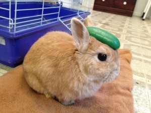 Can I Give My Rabbit Cucumber