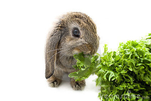 Can I Give My Rabbit Lettuce?