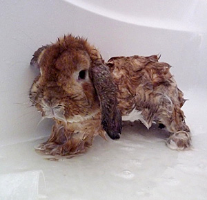 Can I Give my Rabbit a Bath