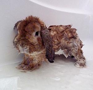Can I Give my Rabbit a Bath