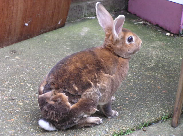 Grooming Your Rabbit