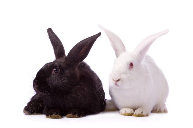 Choosing the right pet rabbit breed