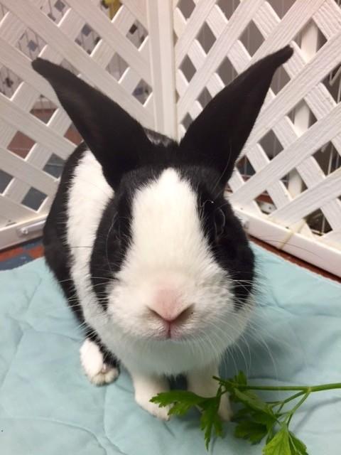 Adopt Austin a Black Dutch Mixed (short coat) rabbit in Whitehall