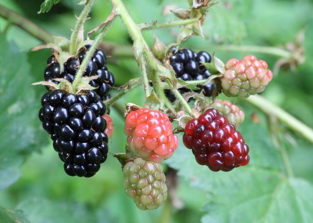 Can rabbits eat blackberries