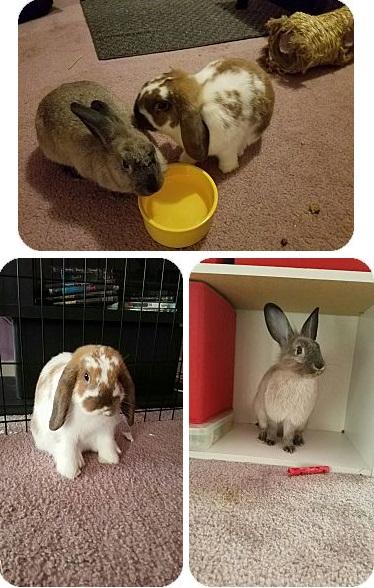 Adopt a rabbit Bellsprout and Momo rabbits life