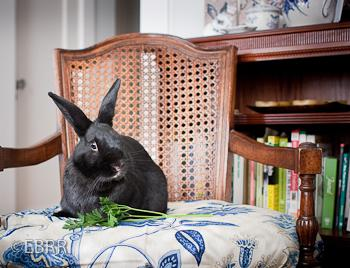 Adopt a rabbit in california Alfie