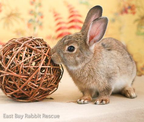 Adopt a rabbit in california Alvin