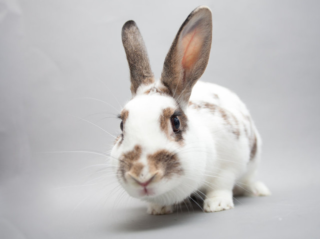 Adopt a rabbit in california Annika