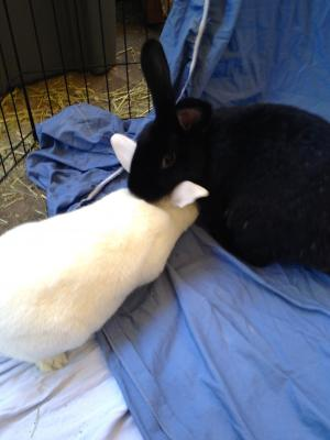 Adopt a rabbit in california Blackberry and max