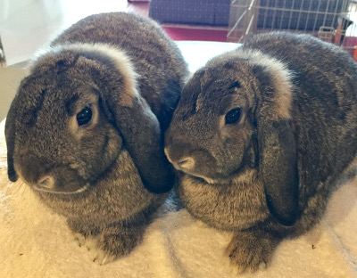 Adopt a rabbit in illinois Alana-and-Andrina