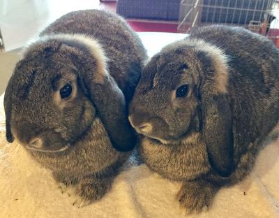 Adopt a rabbit in illinois Alana-and-Andrina