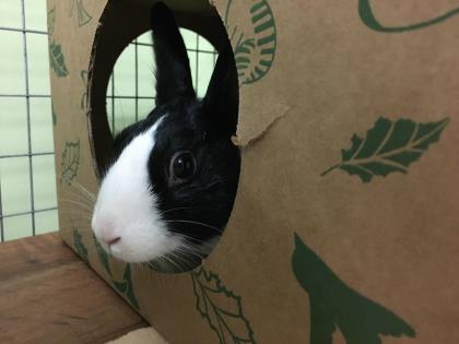 Adopt a rabbit in illinois kohlrabi