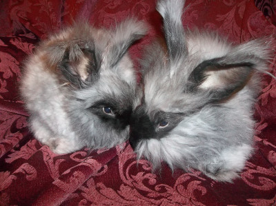 Angora rabbits for sale in new york