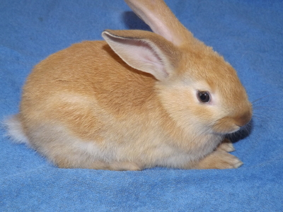 Buck rabbits for sale in new york