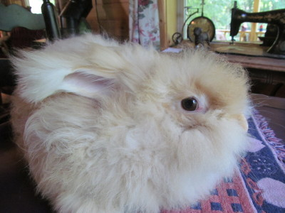Female english angora rabbits for sale in new york