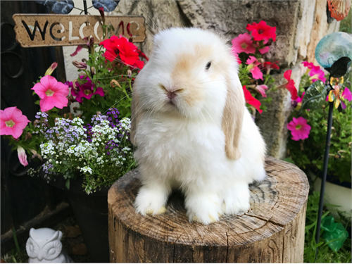 Holland Lop Baby Bunnies rabbits for sale in california