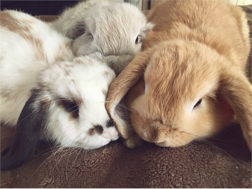 Holland Lop Bunnies rabbits for sale in california