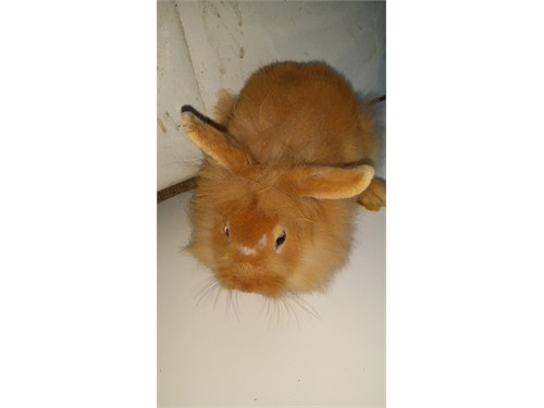 Mix lion heads rabbits for sale in california