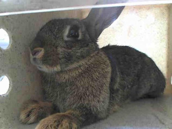 adopt a rabbit in California Brownie
