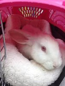 adopt a rabbit in florida Leon