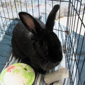 Adopt a rabbit in illinois Sammie