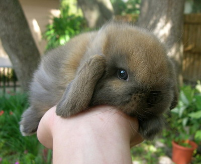 adopt a baby rabbit in florida Holland Lops