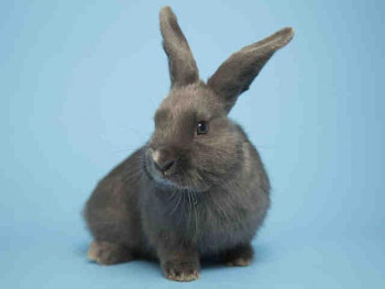 adopt a rabbit in Arizona Izzy