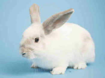 adopt a rabbit in Arizona Snowball