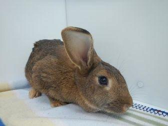 adopt a rabbit in Colorado Maggie