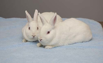 adopt a rabbit in Connecticut Mindy and Jerry