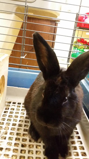 adopt a rabbit in Connecticut Toto