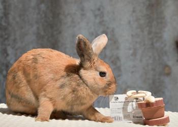 adopt a rabbit in Georgia Cowgirl