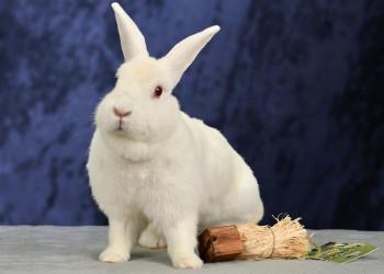 adopt a rabbit in Georgia Nieve