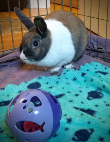 adopt a rabbit in Indiana Alice