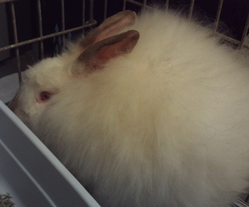 adopt a rabbit in Indiana Angora
