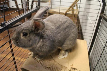 adopt a rabbit in Indiana Clyde