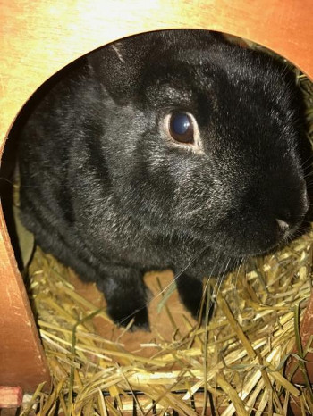 adopt a rabbit in Indiana Hazel