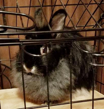 adopt a rabbit in Indiana Poppy
