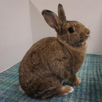 adopt a rabbit in Iowa Lucy