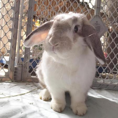 adopt a rabbit in Kentuky Landie