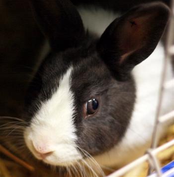 adopt a rabbit in Kentuky Max