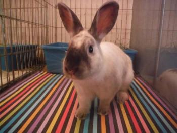 adopt a rabbit in Kentuky Panya
