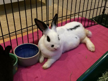 adopt a rabbit in Maine Marigold