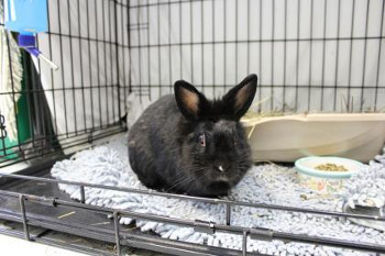 adopt a rabbit in Maine Sophie
