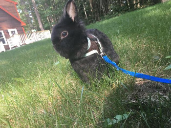 adopt a rabbit in Maine Thumper