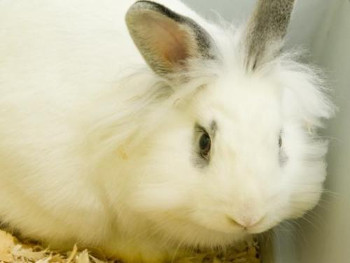 adopt a rabbit in Maryland Aster