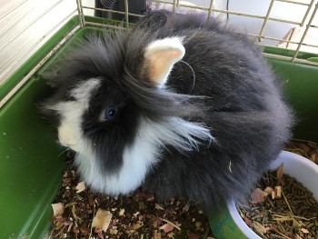 adopt a rabbit in Maryland Eclipse