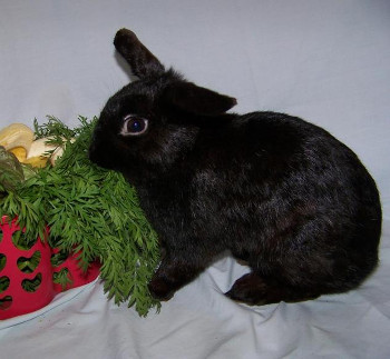 adopt a rabbit in Maryland Ivy
