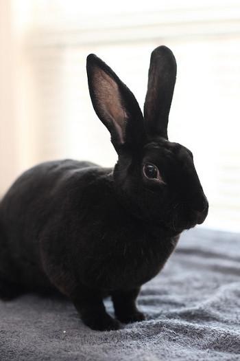 adopt a rabbit in Maryland Mikki