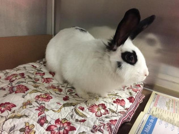 adopt a rabbit in Massachusetts Bella